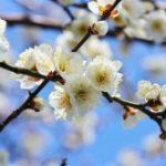 京都の北野天満宮!2~3月なら梅のお花見と梅花祭!