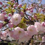 京都の桜!仁和寺の御室桜がおすすめ!